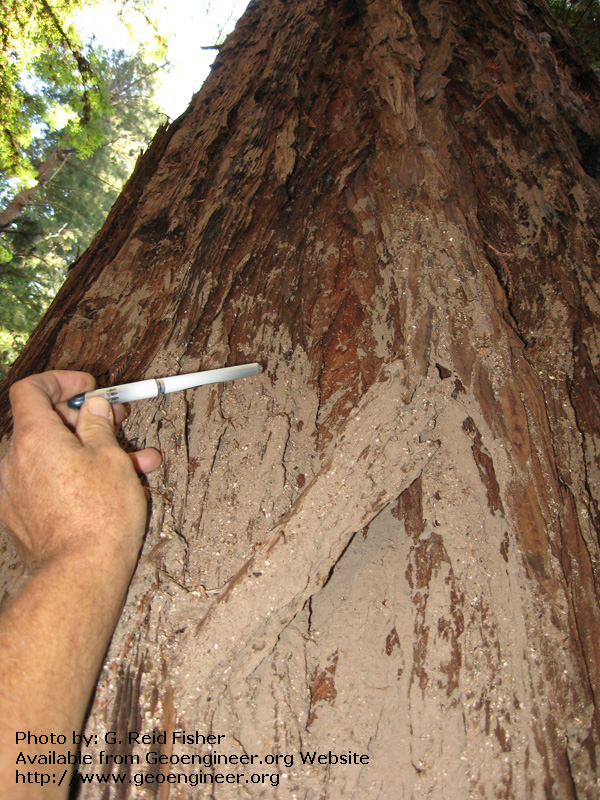 Title: Mudline on redwood tree<br>Title: Mudline on redwood tree recording approximately 4.5m thick debris flow of Nov. 1, 2008; Torre Canyon, Monterey County, California, USA.  