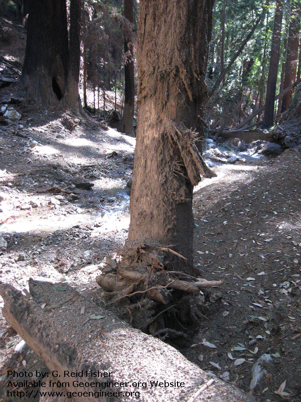 Title: Redwood scarred by debris flow<br>Title: Redwood scarred by debris flow, Torre Canyon, Monterey County, California, USA. 