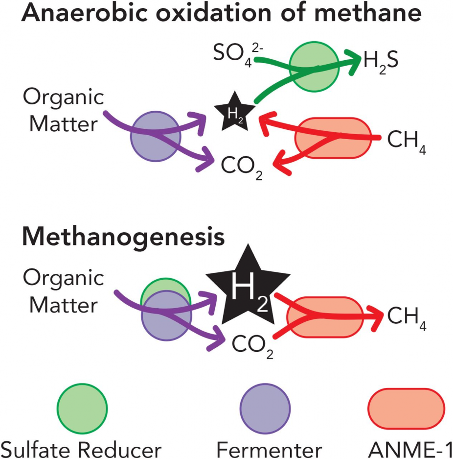 Figure 3: H2 Exhaustion by Sulfate Reducer and Methanogen