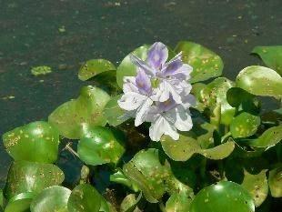 Common Water Hyacinth | Common name: Water Hyacinth, Kabokka… | Flickr