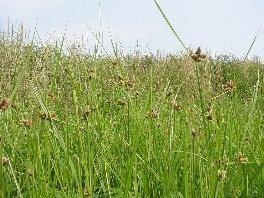 Bolboschoenus maritimus (saltmarsh tuber-bulrush): Go Botany