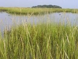 The ubiquitous SC coastal marsh grass is no longer called spartina | The  Citadel Today