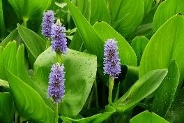 Pontederia cordata (Pickerel Weed)